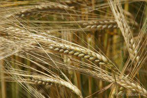 Utah State-developed barley bound for Ethiopia