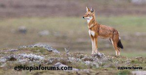 Ethiopia's endangered species on the increase