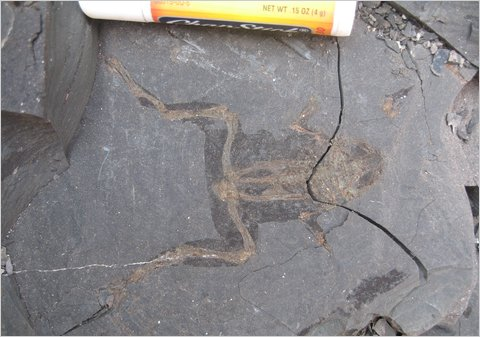A fossil frog with bones and soft parts preserved