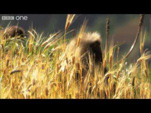Gelada Monkey Army Raids Ethiopian Harvest – Human Planet: Mountains, preview – BBC One