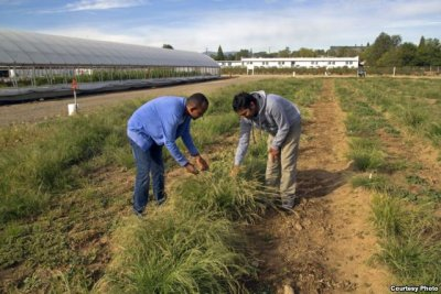 Demand Rises for Ethiopia's staple grain, Teff in America