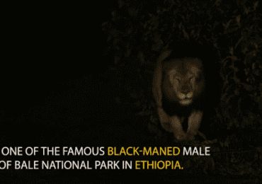 Majestic Ethiopian Black Lion Caught on Video – National Geographic Video
