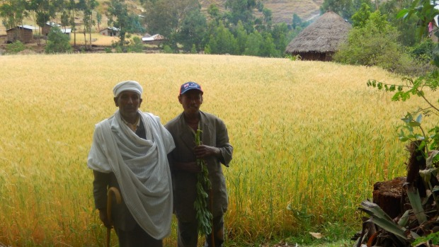 Amlaku Teshome's father and brother, in front of one of the villages first wheat harvests grown in the dry season.