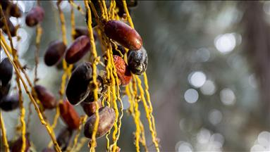 Egypt's Siwa Oasis… world's top producer of dates