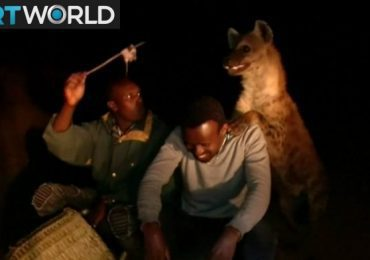Hyenas in Ethiopia's Harar disappear as the city grows