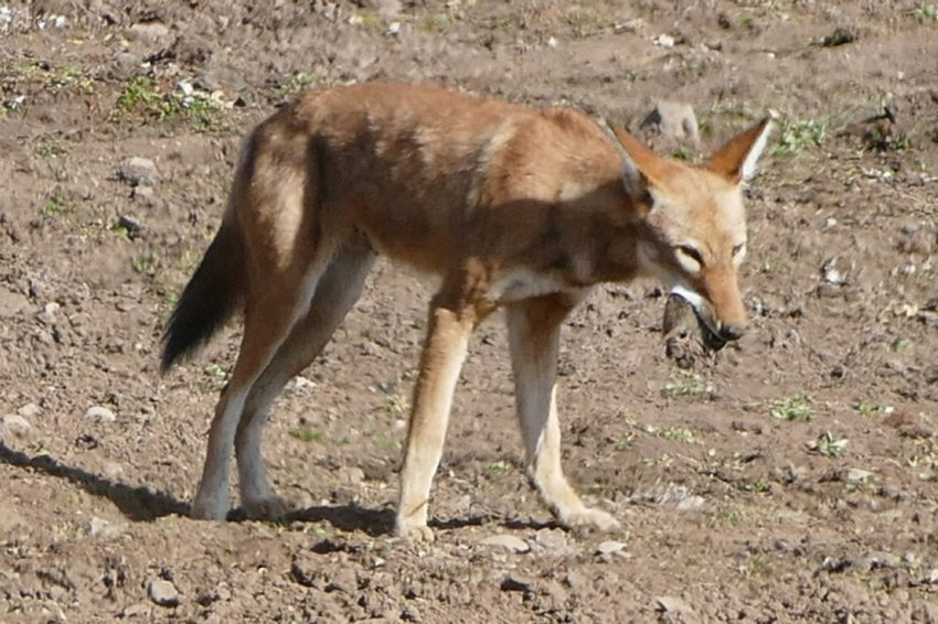The endangered Abyssinian red wolf exists in a habitat that's now mostly limited to the high plateau of Bale Mountains National Park.