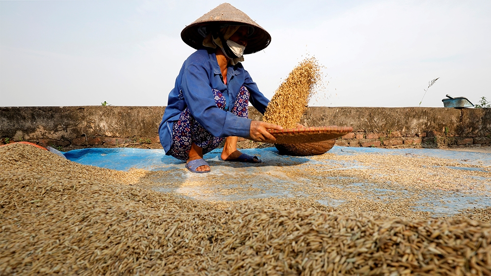FILE PHOTO: A farmer harvests rice by a paddy field outside Hanoi, Vietnam June 10, 2019. REUTERS/Kham/File Photo