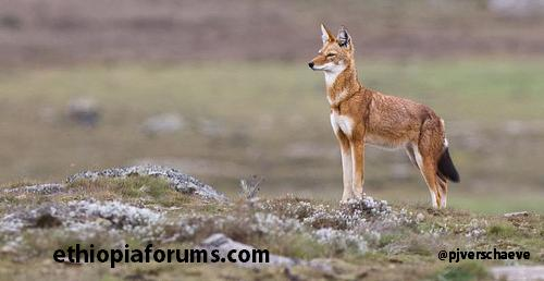 endangered Red fox in Ethiopia