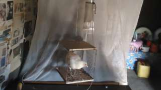 Chicken in a cage next to a bed
