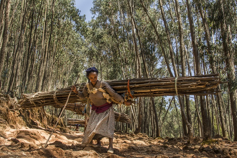 Amone Ayesa collects wood in the Entoto forest outside of Addis Ababa, Ethiopia. The wood left over after household use will fetch about $2 to help feed her and her children. Photo by Maheder Haileselassie Tadese
