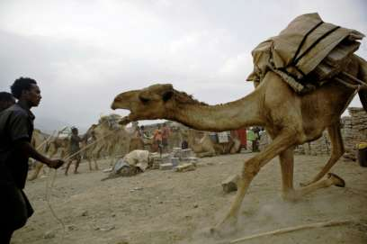 Getting salt-laden camels from Lake Asale to the nearest city Mekele used to take four days, but now caravans end at Berhale, connected to Mekele by tarmac five years ago