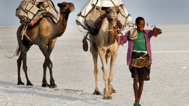 A herder leads camels carrying freshly mined tablets of salt from the Afar Region. The salt once was used as currency by ...